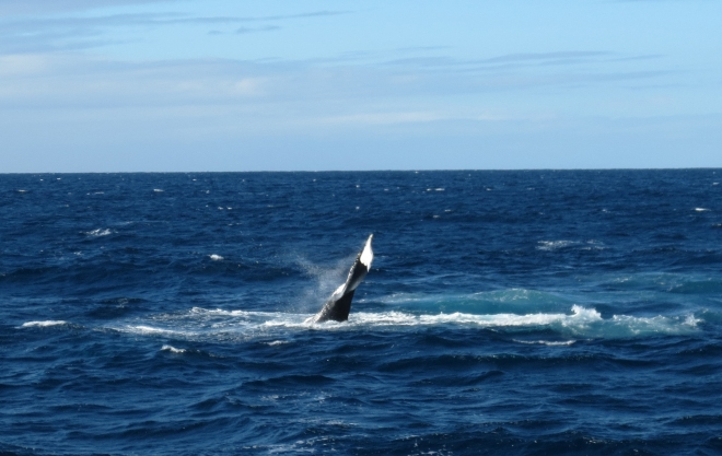 Humpback Whale Fluke Up Dive